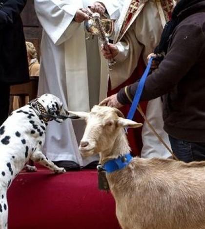 La fiesta de Sant Antoni Abat, patrón de los animales, se celebra en todos los municipios de Mallorca
